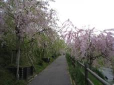 IRさわやかウォーキング「幸田しだれ桜まつりと歴史の地を訪ねて」