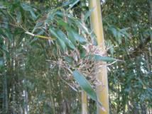 ウルトラQ「さざめ竹:竹の花」、そして「じゃこ天」