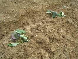 「サツマイモの植え付け」、そして「地伝酒入りあご野焼」