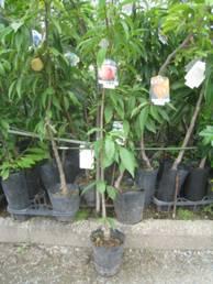 庭に桃の苗を植えました
