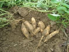 「さつまいも(安納芋)の無農薬海水栽培」、そして「とれたてホップ 一番搾り 2013」