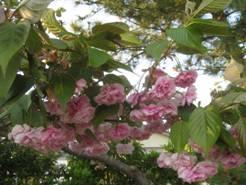 「八重桜」「浜名湖産生かきフライ」「金山寺味噌」、そして「<食卓ものがたり> ソース」