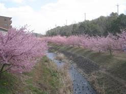 県西部最大規模!!浜松の新名所「東大山の河津桜」が見頃です!